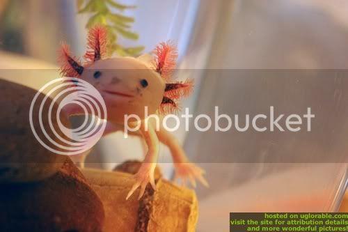 Axolotl 0100a