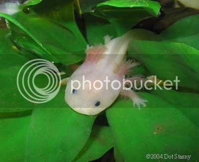 Axolotl A_mexicanum1STASNY
