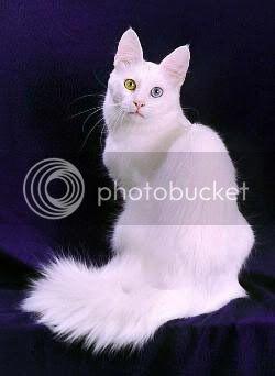 Мачки Turkishangora