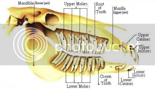 Zubi Teeth