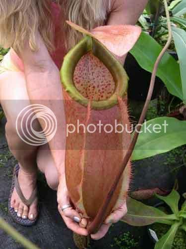 Nepenthes merrilliana, pire qu'un seau d'eau !! Meriandy5