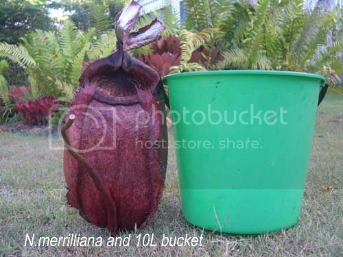 Nepenthes merrilliana, pire qu'un seau d'eau !! Merriandbucket-1