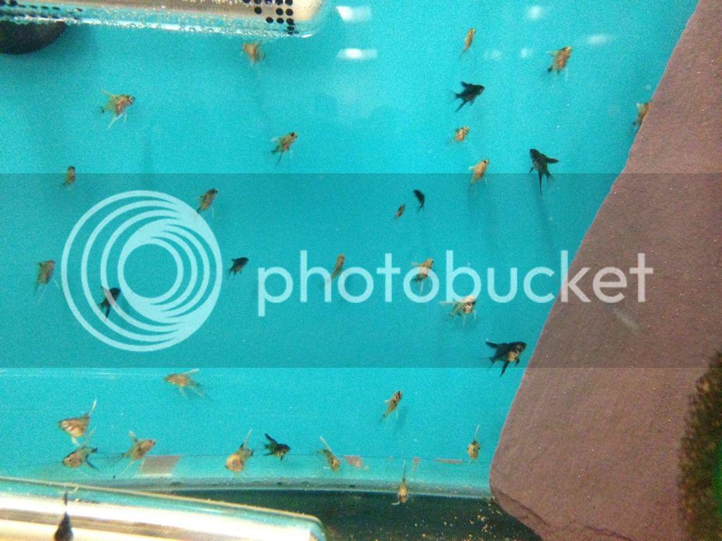 New Spawn - Black x Albino Gold Peralscale E33BF817-12A8-4227-80AF-DA7EC4195BB8-1058-0000007B39E863B3_zps744489c5