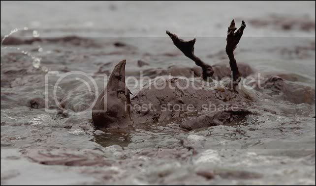 OIL SPILL in the GULF of MEXICO ....... GAIA BLEEDS BLACK!!! 100604_gulf_oil_spill_lg33