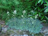 Plante tapissante à identifier Th_Saxifrage060511