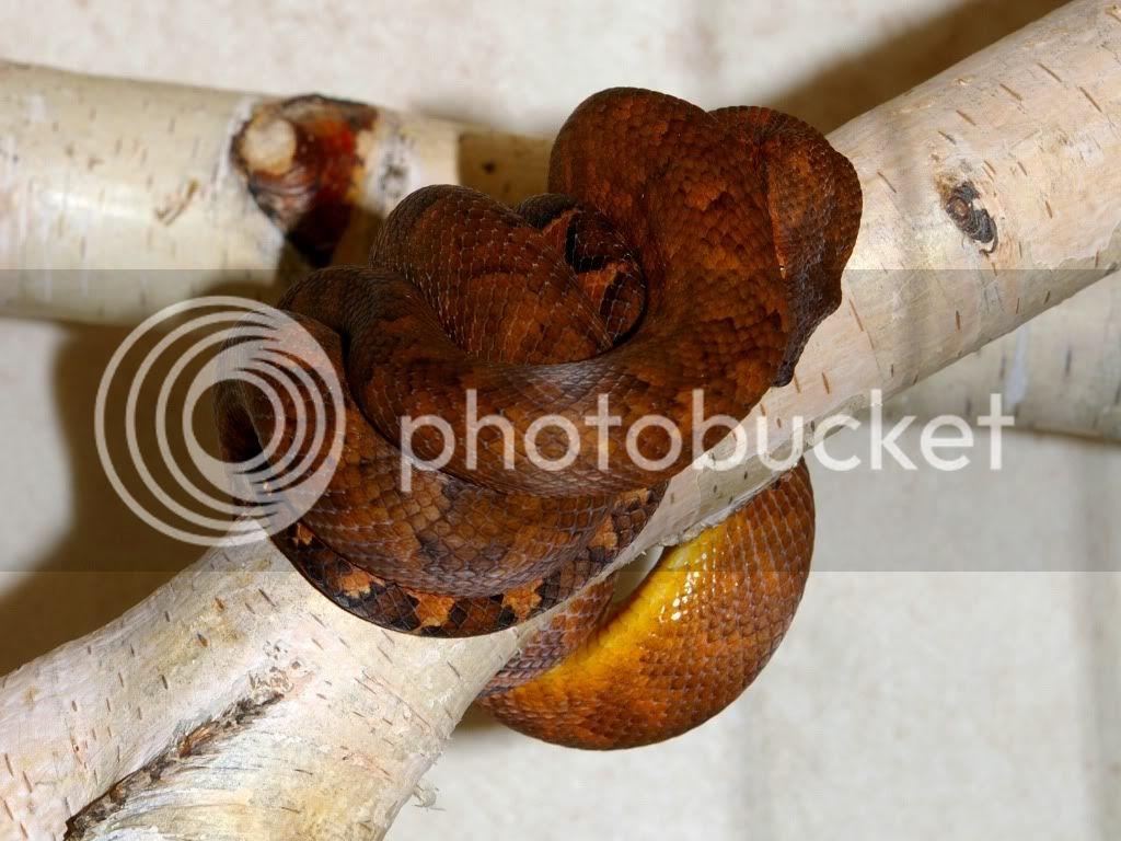 [Fiche] Candoia bibroni australis IMGP2819