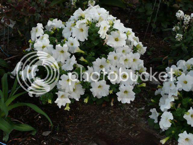 BUSQUEMOS HERMOSAS FLORES - Página 4 Petunias