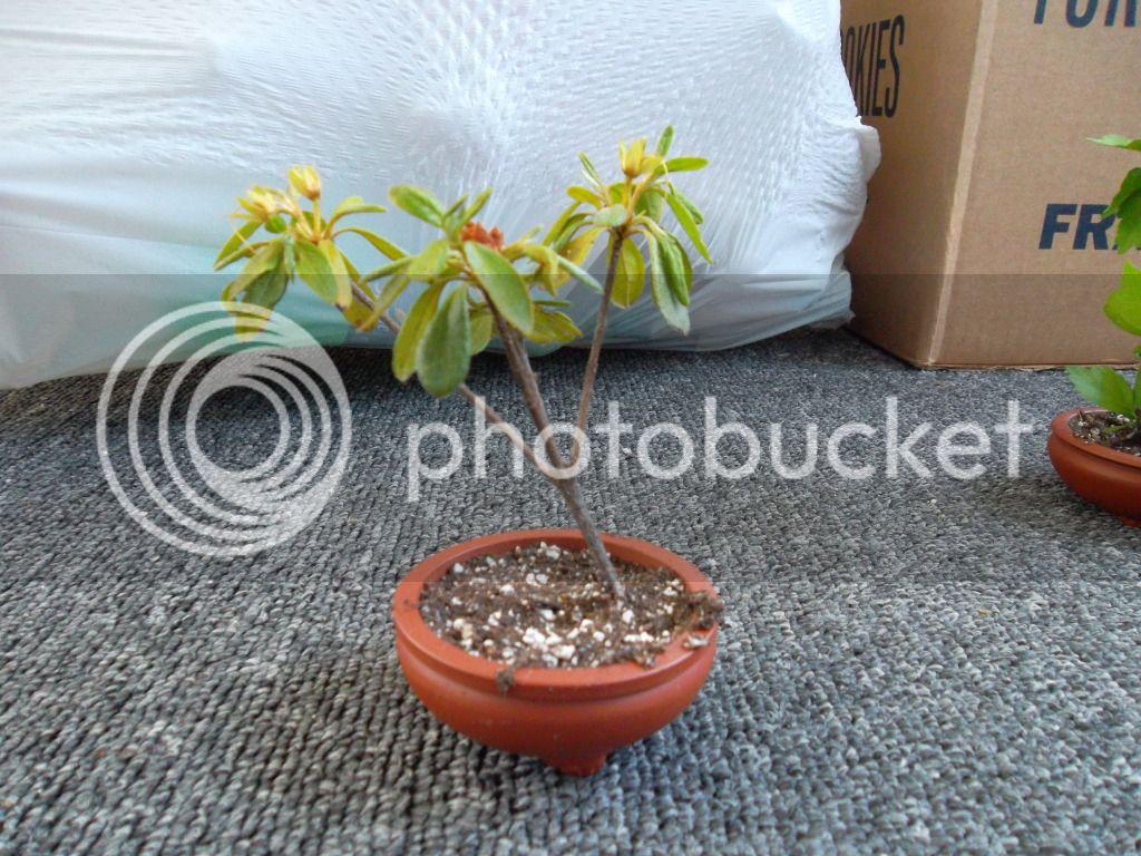 Azalea and red heart althea cuttings for bonsai? SAM_0196