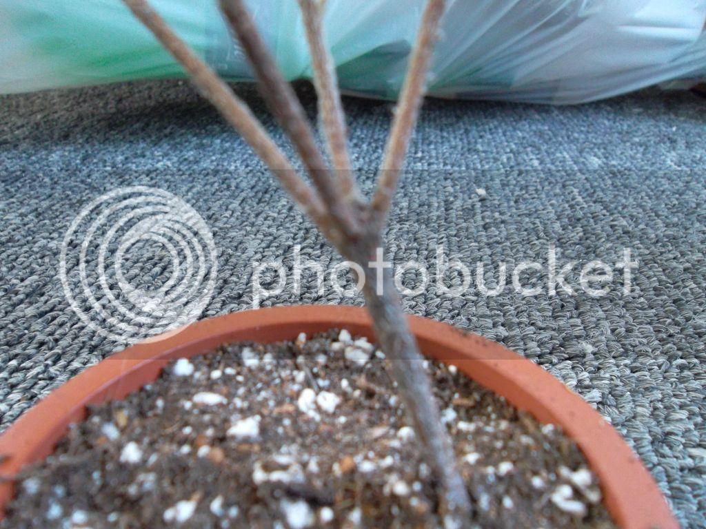 Azalea and red heart althea cuttings for bonsai? SAM_0198