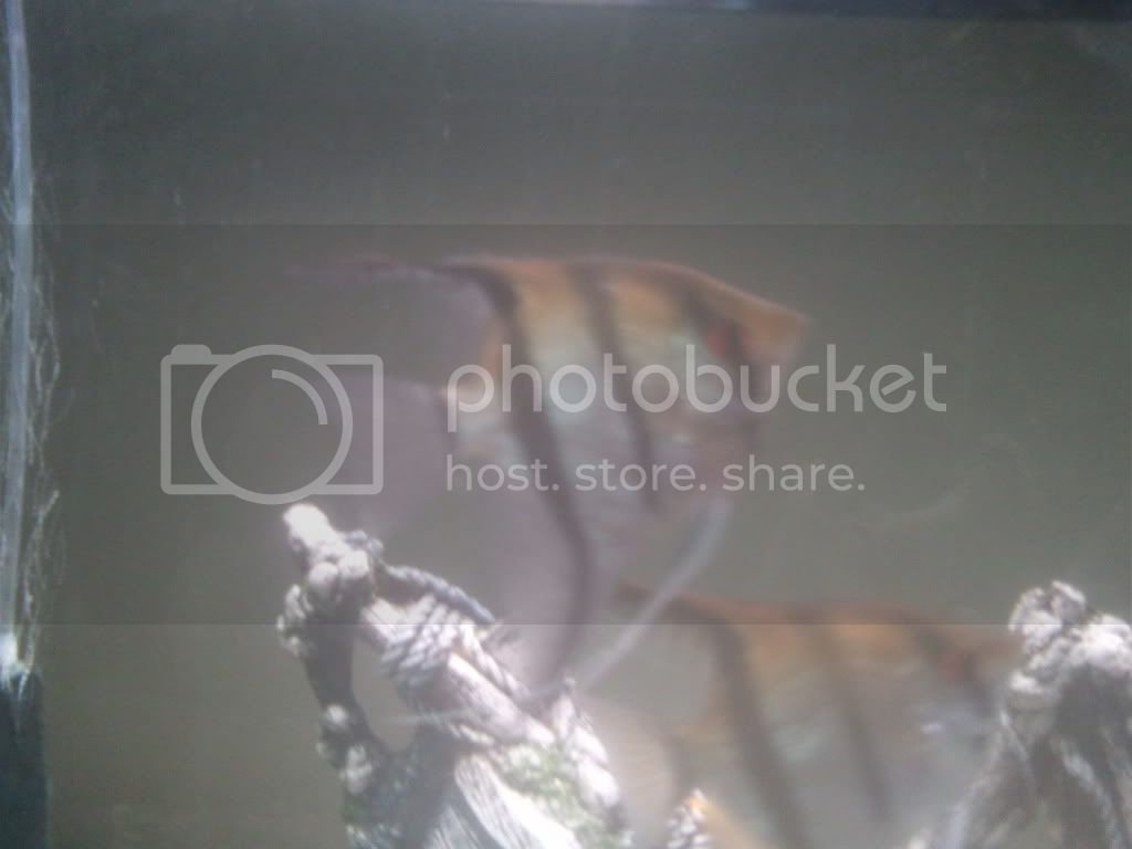Which type of Angel fish do I Have ???? Angel1