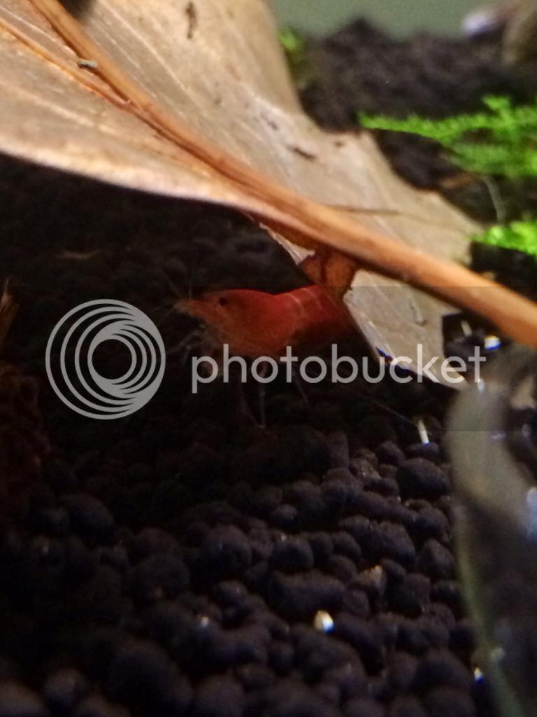 Super red crystal F1 ovada Photo5