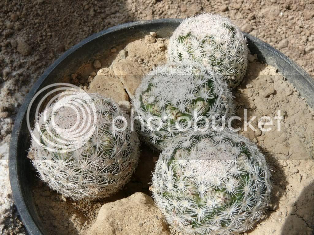 Growing M.laisacantha P1050853Kopiren