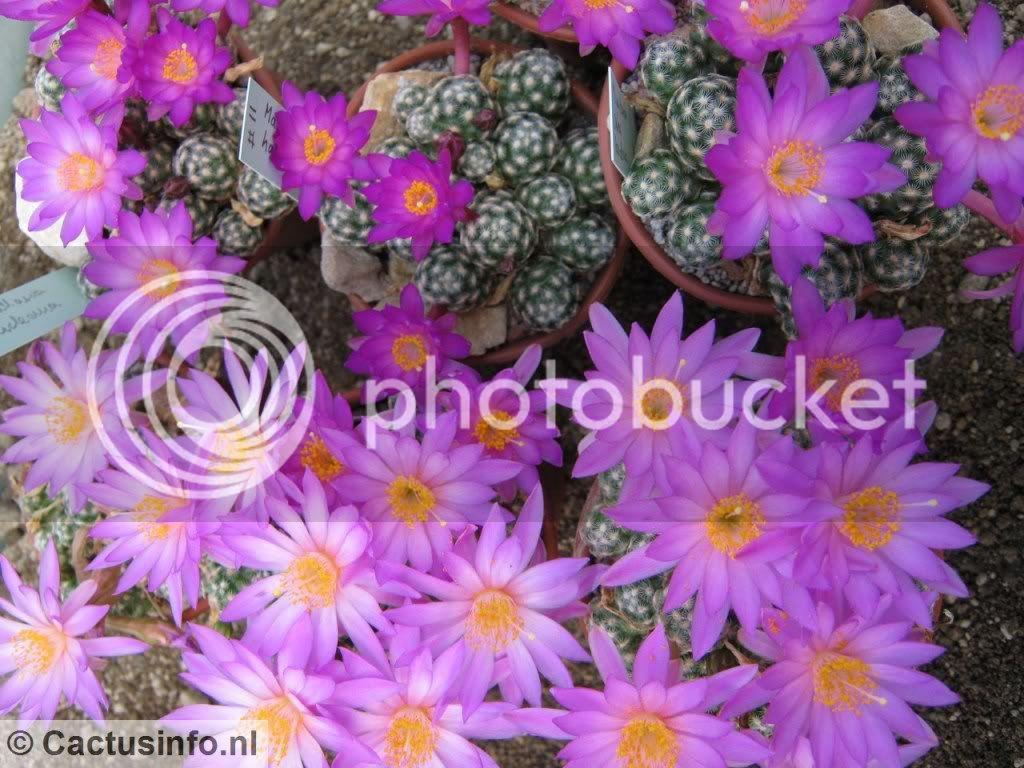 Mammillaria theresae Mammillariasaboahaudeanatweetypen