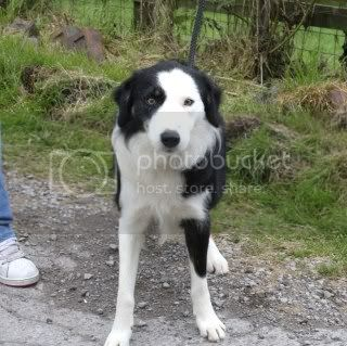Toto, 2 yr old Collie boy fostered by Four Paws Animal Rescue  FourPaws049