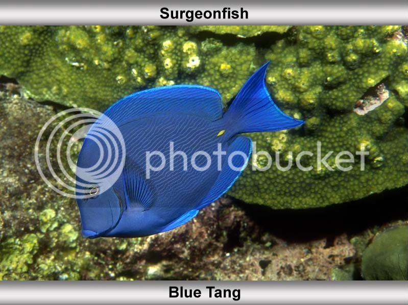 Atlantic Blue Tang (Acanthurus Coeruleus) 123456789-1