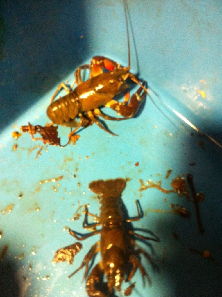 Aquí una fotos del llamado cangrejo azul Null_zpsab4751a4