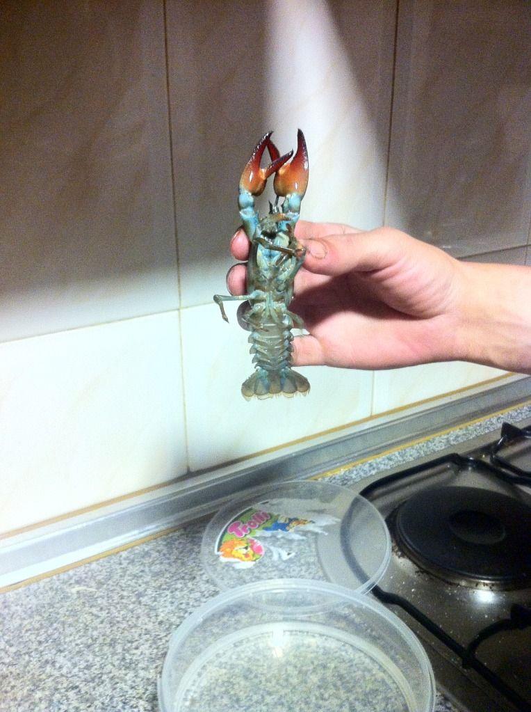 Aquí una fotos del llamado cangrejo azul Null_zpsf6aac2b3