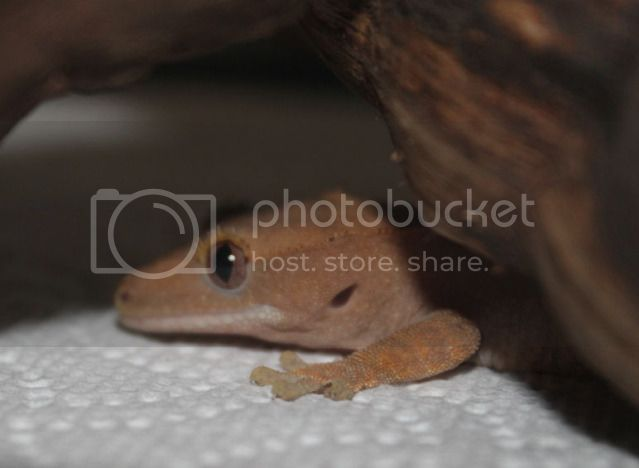 Hello New to Cresties but not reptiles Harley1
