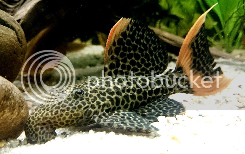 Pseudacanthicus leopardus (Fowler, 1914) - L114  - Página 2 _20170421_211304_zpsmr4ss71w