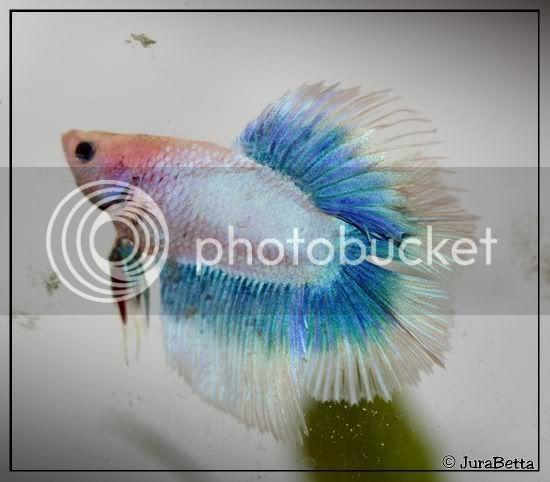 HMDT Cambodge papillon bleu/pastel 20071012-0034
