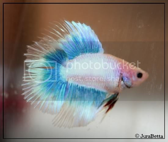 HMDT Cambodge papillon bleu/pastel 20071012-0054