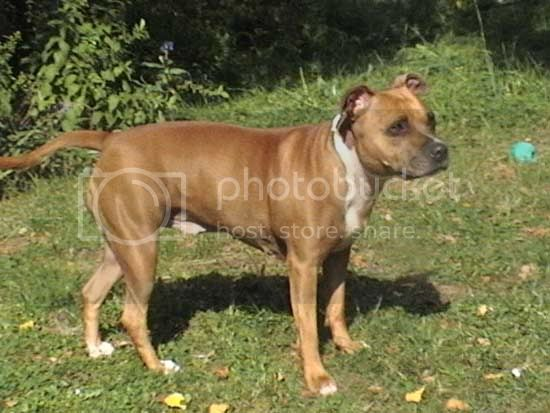 Beautiful Lily, tan & white staffie girl Lily4_garden