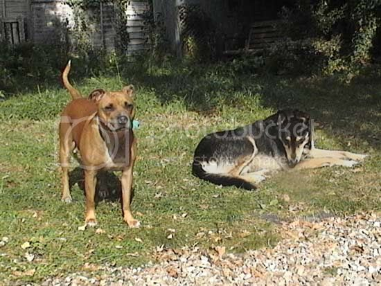 Beautiful Lily, tan & white staffie girl Lily_Simba_garden1