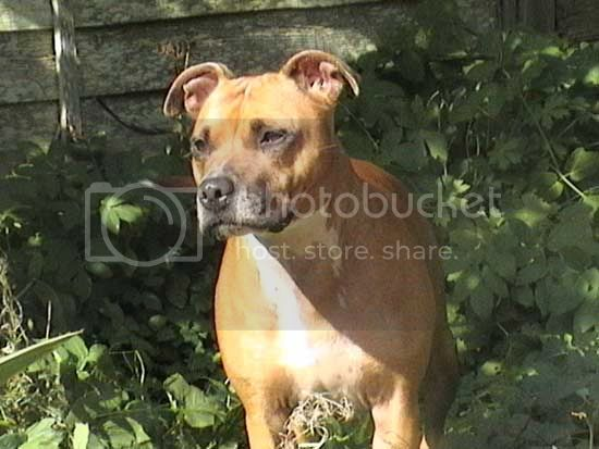 Beautiful Lily, tan & white staffie girl Lily_garden1