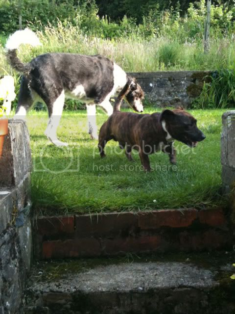 Henry Little Legs, Dachshund x Snuffleshire Bull Terrier Henryhome4_small