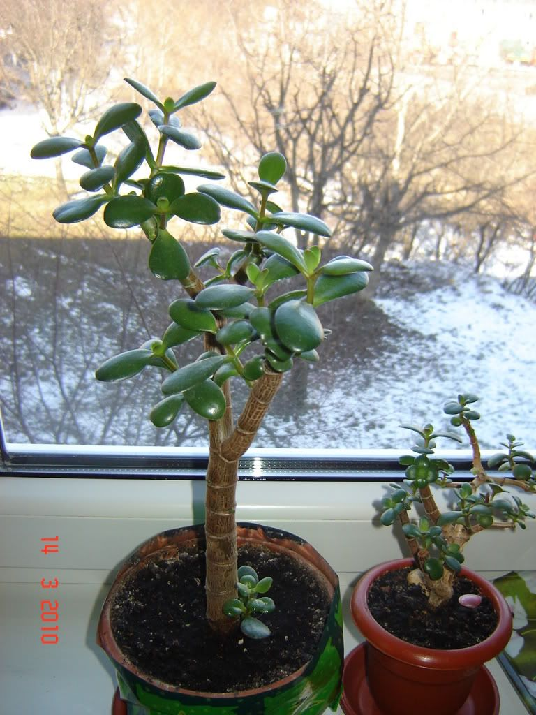 Crassula ovata forumul-florilor DSC09800