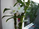 Inflorire dendrobium forumul-florilor - Pagina 3 Th_DSC01143