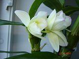 Inflorire dendrobium forumul-florilor - Pagina 2 Th_DSC01088