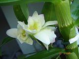 Inflorire dendrobium forumul-florilor - Pagina 2 Th_DSC01091