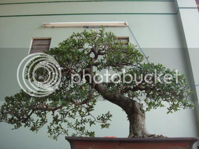 bigbabol bonsai garden from Vietnam DSC05641