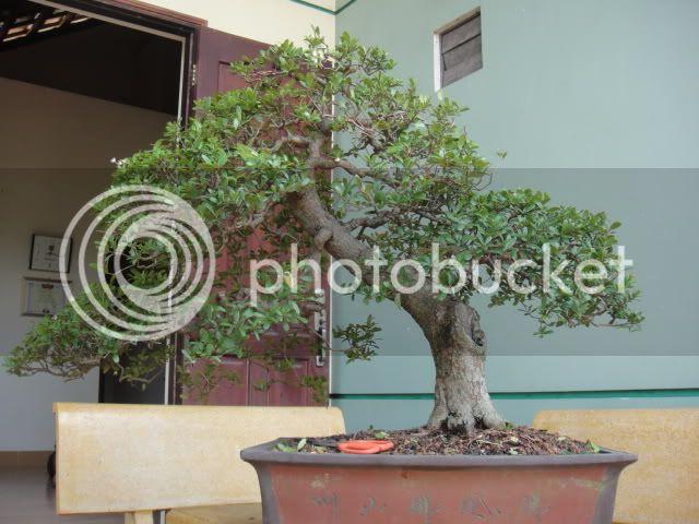 bigbabol bonsai garden from Vietnam DSC05652