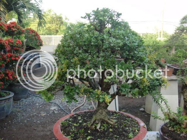 bigbabol bonsai garden from Vietnam DSC05669