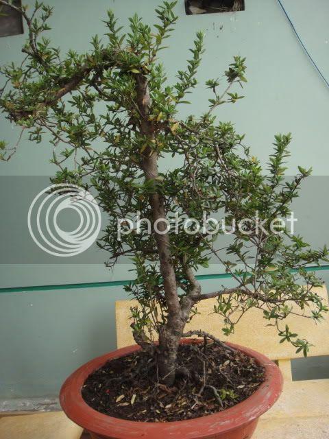 bigbabol bonsai garden from Vietnam DSC05703