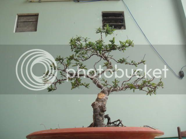bigbabol bonsai garden from Vietnam DSC05704