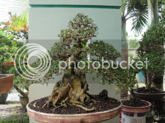 bigbabol bonsai garden from Vietnam DSC05705