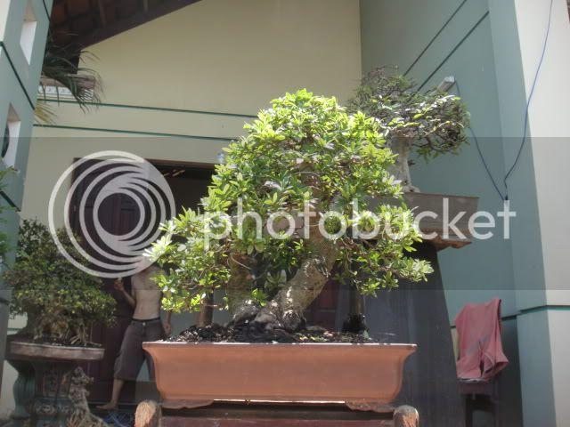 bigbabol bonsai garden from Vietnam DSC05724