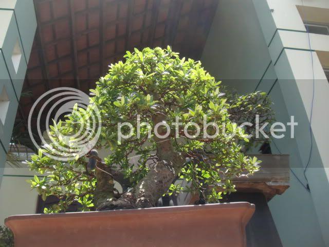 bigbabol bonsai garden from Vietnam DSC05726
