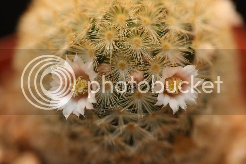 Mammillaria Carmenae 810A2877
