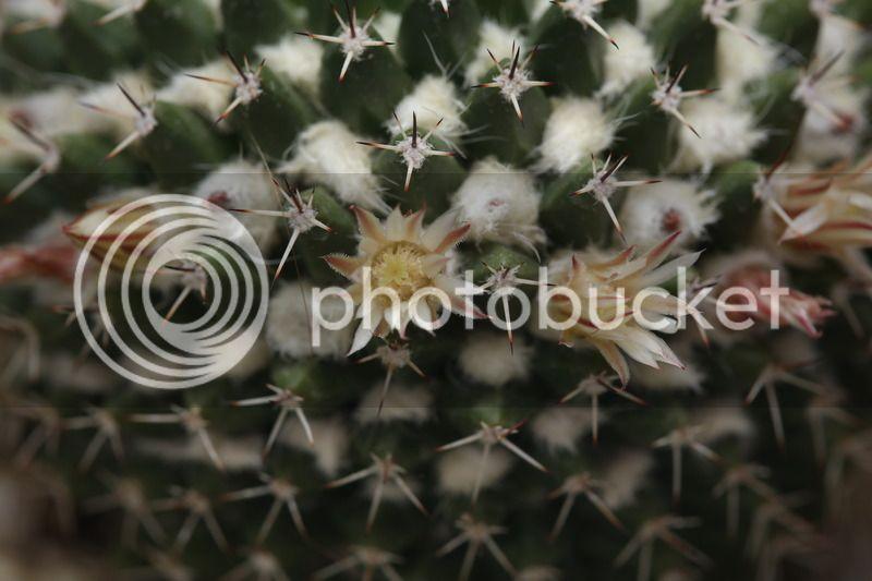 Some Pictures. Mammillaria%20Nejapensis2