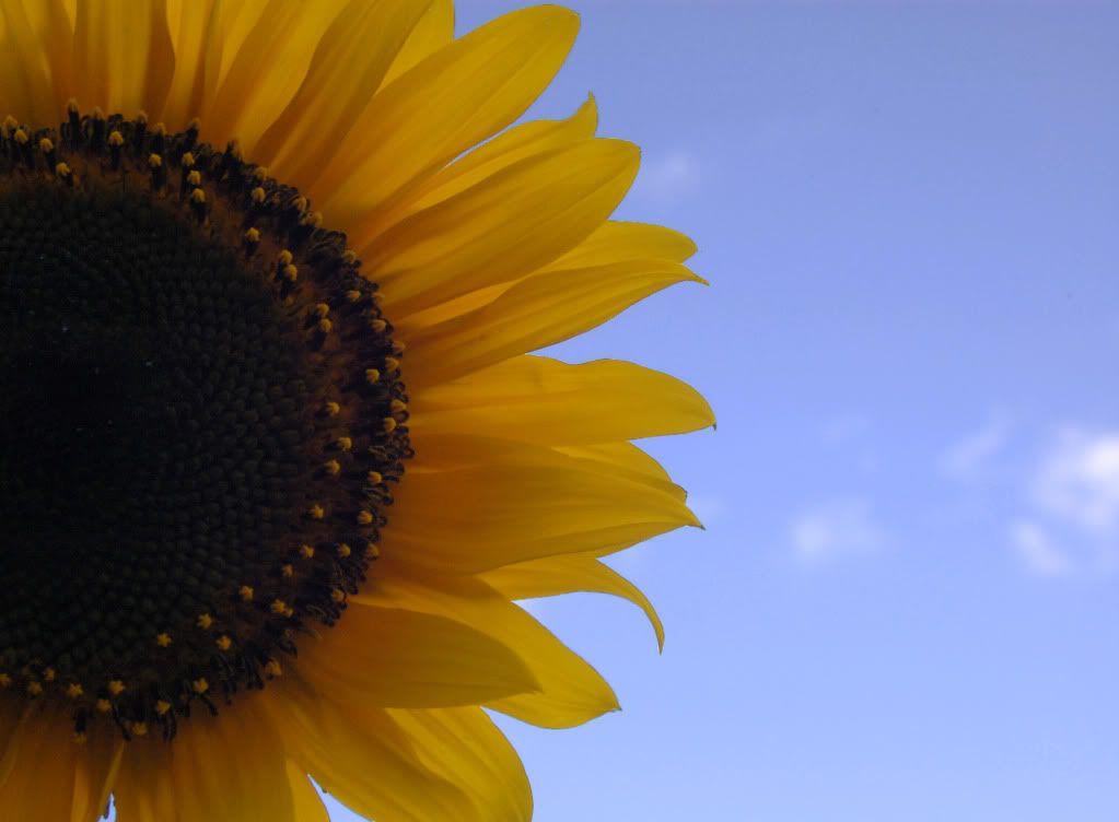 இயற்கையோடு ஒரு நிமிடம். Sunflower