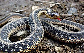 ANCIENT BASSANIA - OLD BOSNIA Snakes