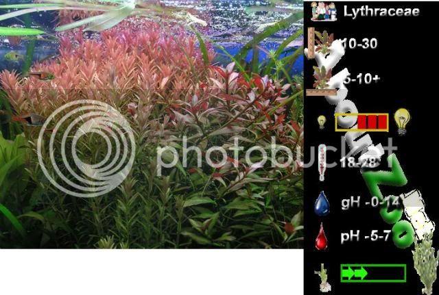 (Didiplis diandra) Picture-087