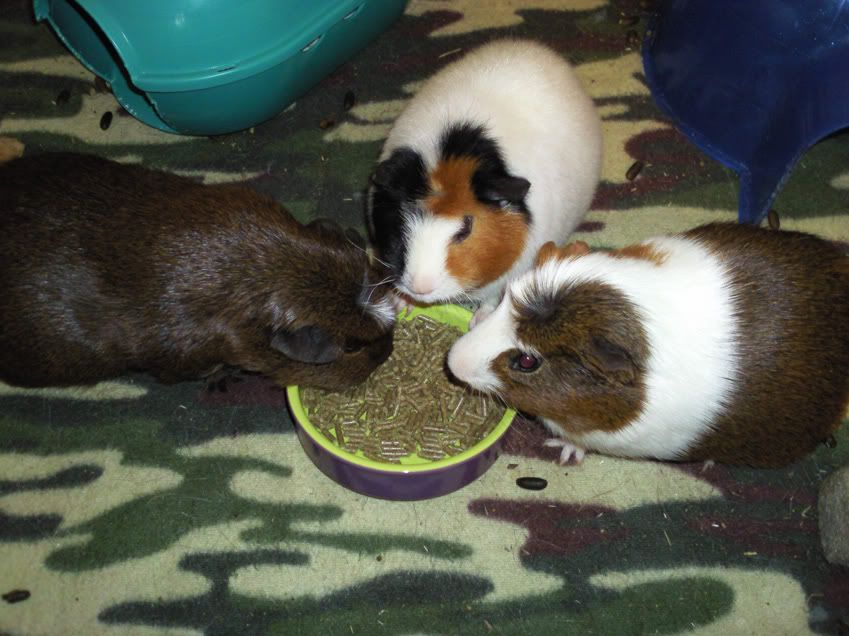 Our beloved Minnie, the sweetest guinea pig Photo0283