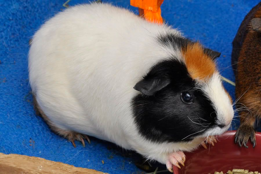 Our beloved Minnie, the sweetest guinea pig _DSC4833-1