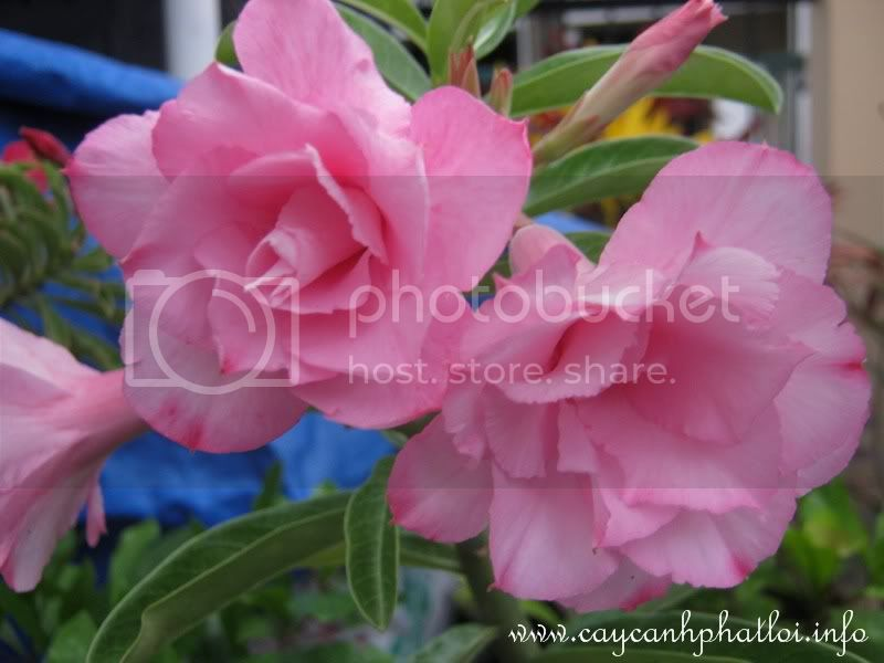 Hoa sứ quanh nhà Caycanhphatloi_kyduyen_GF