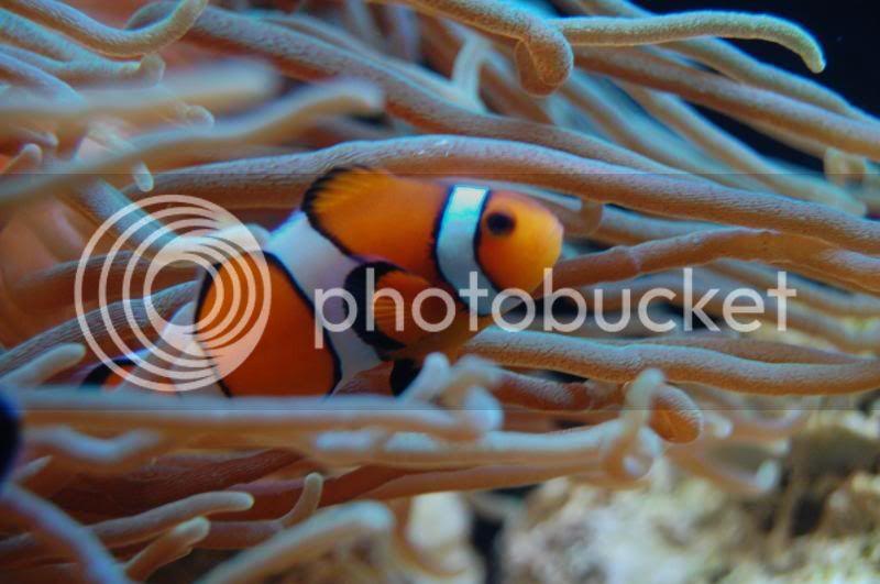 Nova espécie de peixe palhaço Saltwatertank371